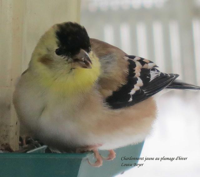 Chardonneret jaune au plumage d'hiver