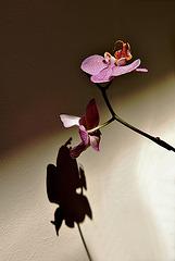 Orquídea sobre fondo oscuro y sombra sobre fondo claro
