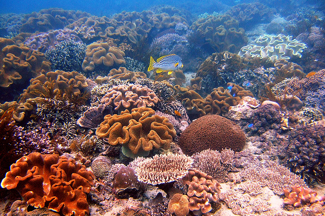 Sweetlipp over coralbank