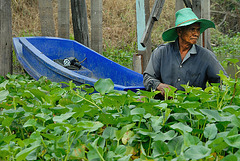 The man inside the water hyacinth