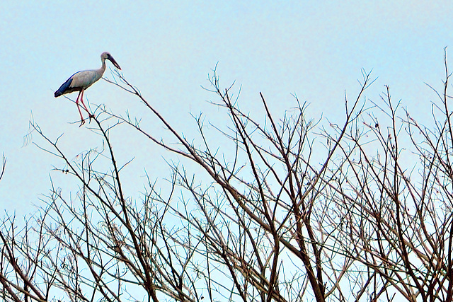 Stork on a very small twig