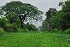 Water hyacinths on Khlong Sam