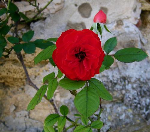 Rose sur un mur...