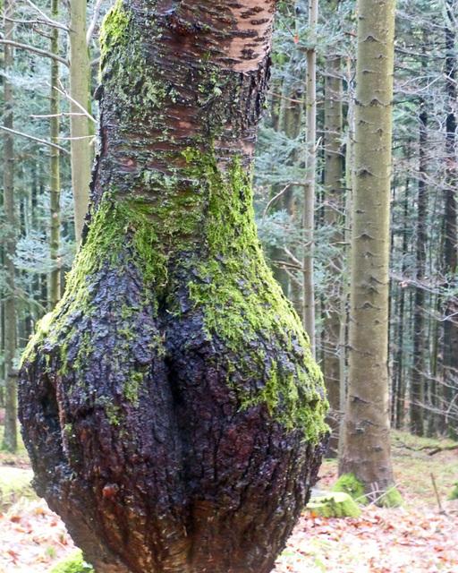 la forêt callipyge...