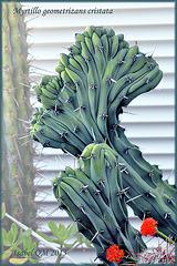 Myrtillocactus geometrizans v. monstrose, Myrtillo geometrizans cristata