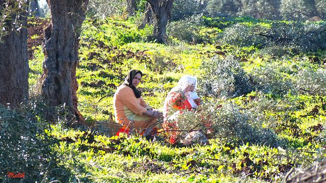 Recolte d'Olives..!