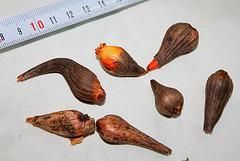 Bulbes de Calochortus