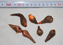 Bulbes de Calochortus (2)