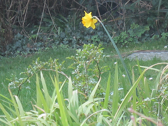 A lone daffodil keeping watch over the lawn
