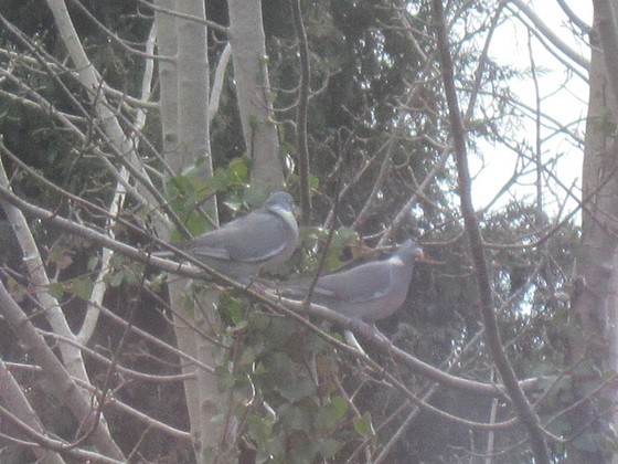 My family of wood pigeons are looking to nest