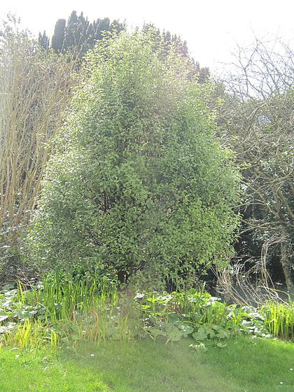 My pitisporum tree in the sun