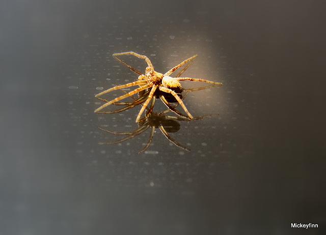 specimans itsy bitsy spider