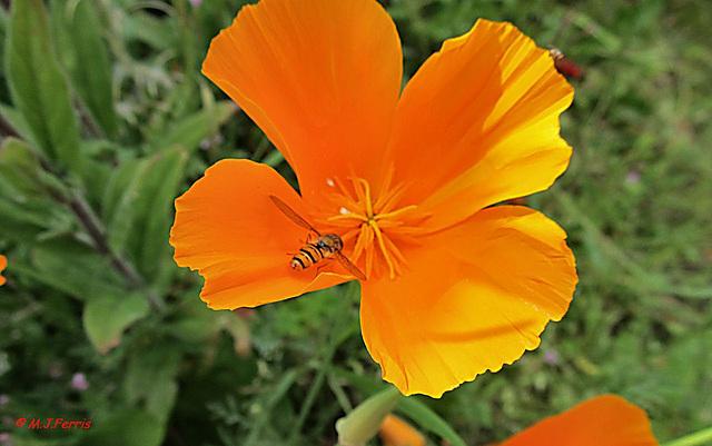 specimans wasp