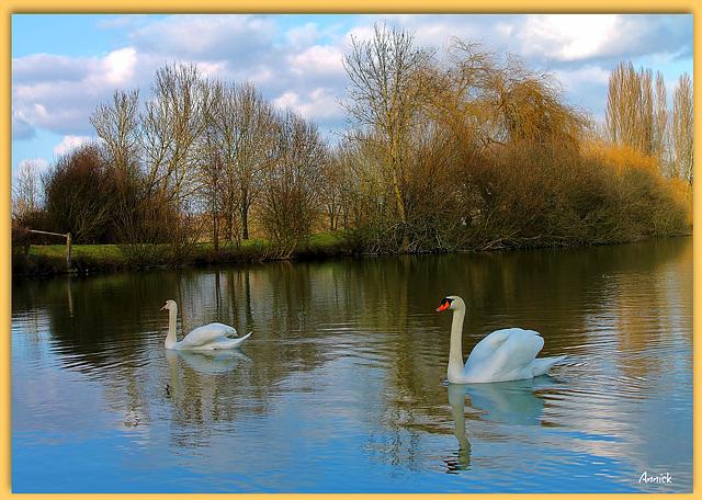 2 beaux cygnes blancs de l'étang
