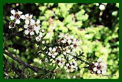 White floral bush