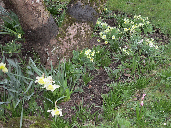 Neighbour's lovely spring flowers around the old tree