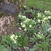 Lovely primroses, snowdrops all surround an old apple tree