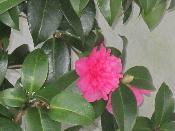 The camellias come out