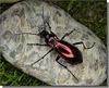 Chrysocarabus splendens - femelle