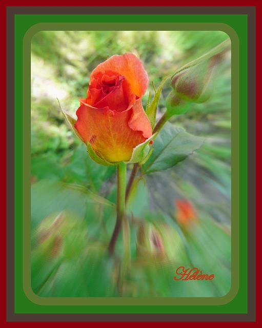 journée de la rose