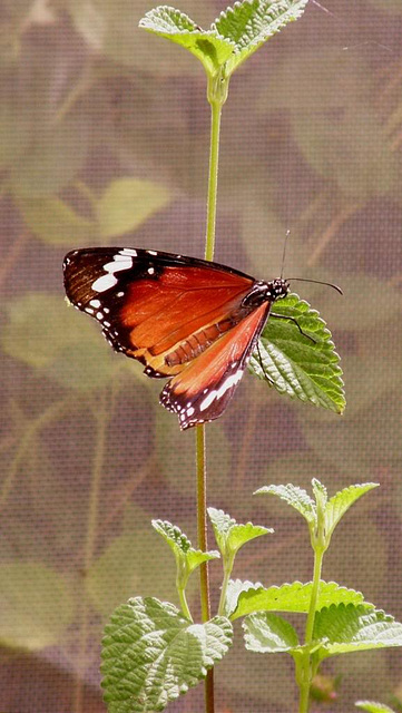 netted butterfly