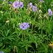 Geranium pratense par Karelj