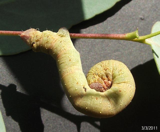Arhodia lasiocamparia Caterpillar