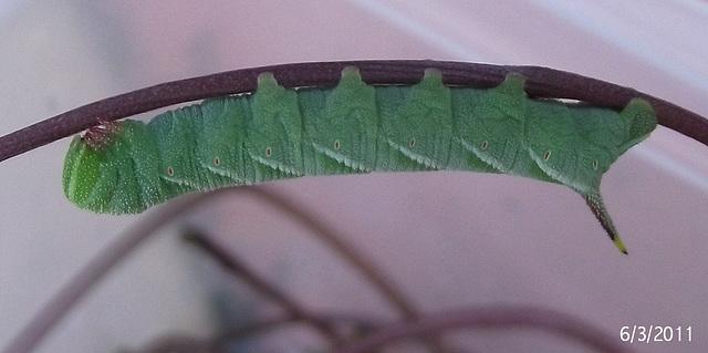 Agrius convolvuli Caterpillar Mid Instar