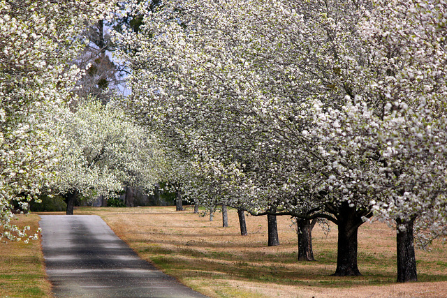 Row of pear trees