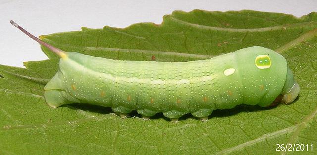 Hippotion celerio Caterpillar