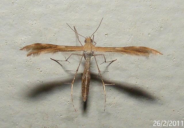 Megalorhipida leucodactyla