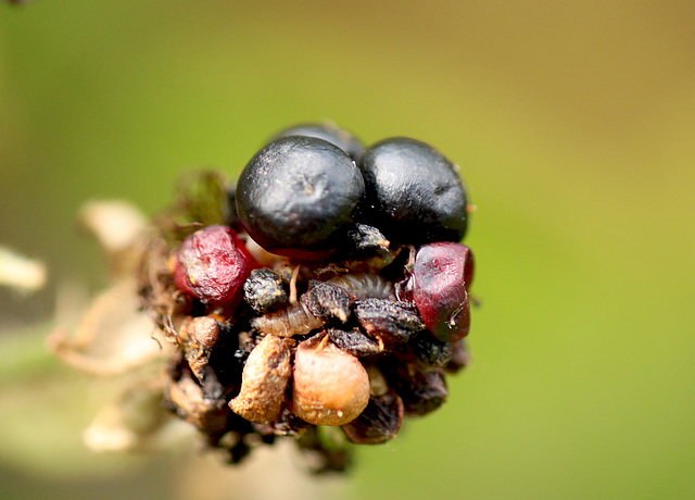 Fly Faced Berry Eats Caterpillar...