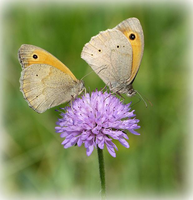 ...ils sont là...et se gorgent de pollen...