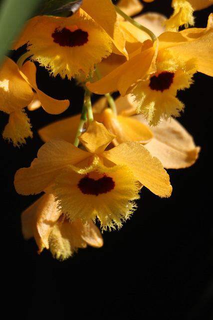 Dendrobium fimbriatum var. occulatum