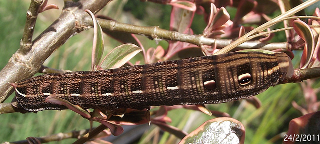 Hippotion scrofa Caterpillar Dark Form