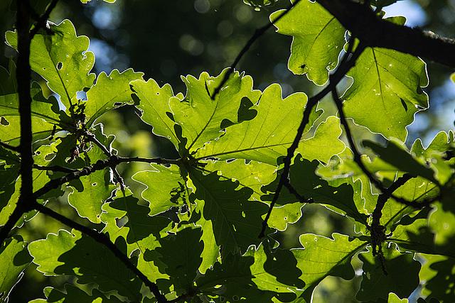 20140519 3362VRAw [D~OB] Kaiser-Eiche, Ripsdorfer Wald