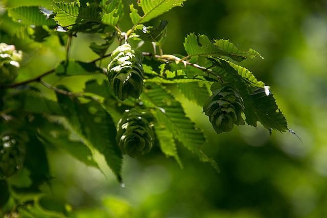 20140519 3357VRAw [D~OB] Hopfenbuche (Ostrya carpinifolia), Ripsdorfer Wald