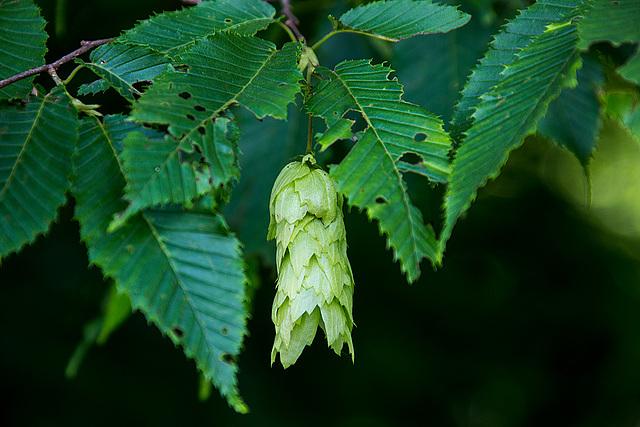 20140519 3346VRAw [D~OB] Hopfenbuche (Ostrya carpinifolia), Ripsdorfer Wald