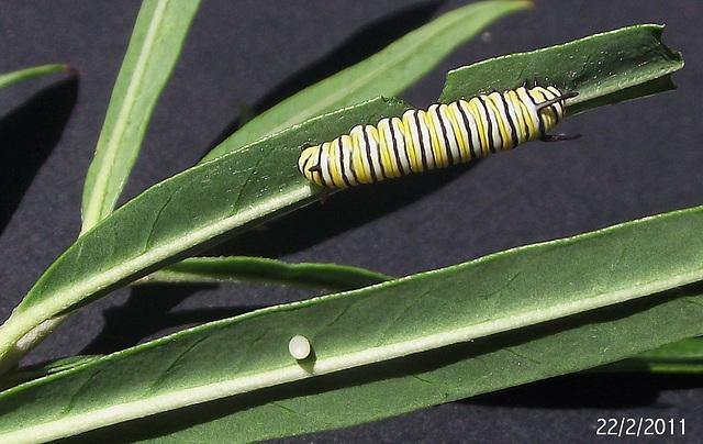 Danaus plexippus Egg and Early Instar Caterpillar