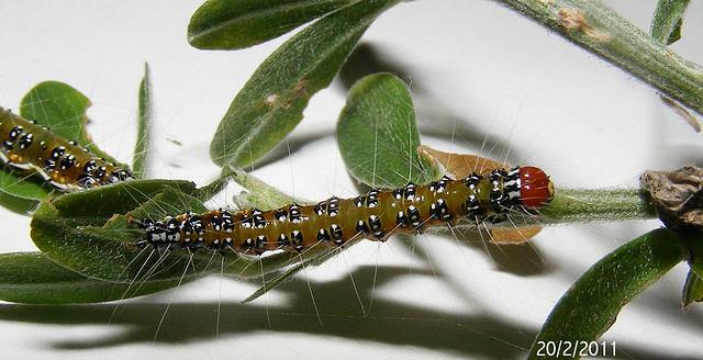 Uresiphita ornithopteralis Caterpillar