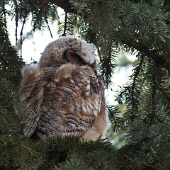 The oldest owlet