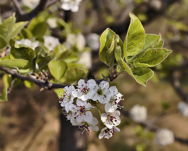 Bradford Pear Blossoms – Lake Artemisia, Prince George's County, Maryland
