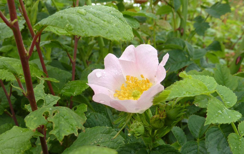 Wild Dog Rose they grow freely along our hedge rows