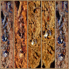 Quintet ~ Pine sap Collage