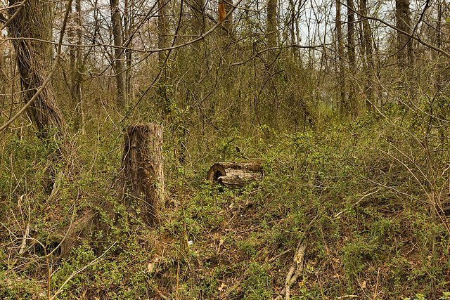 Green Returns to the Forest – Lake Artemesia, College Park, Maryland