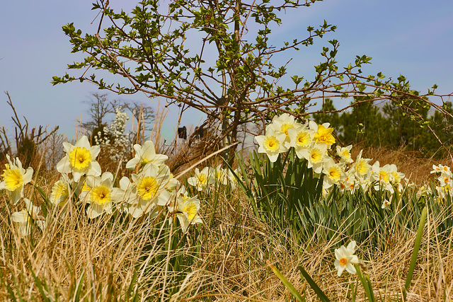 The Daffodils' Song – Lake Artemesia, College Park, Maryland