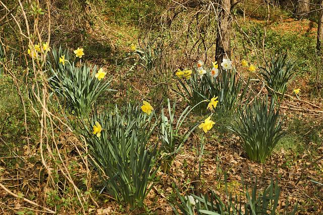 Feral Daffodils – Lake Artemesia, College Park, Maryland
