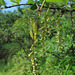 20090924-0148 Dioscorea sp.