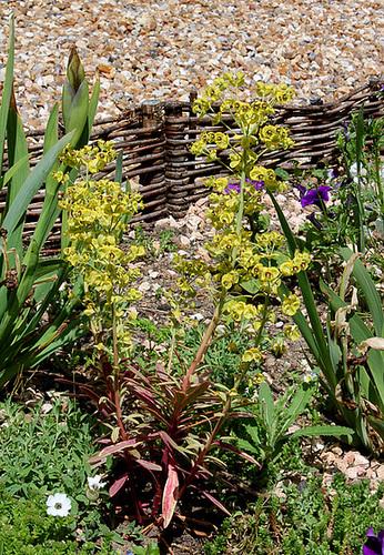 Euphorbe variegata