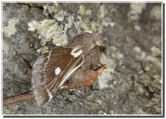 Eriogaster lanestris mâle.